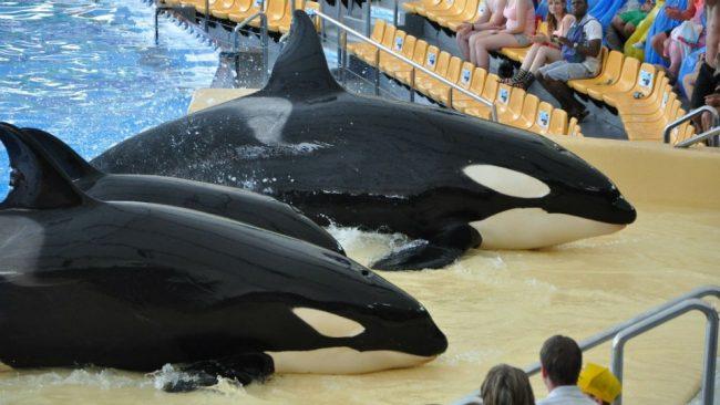 SEAWORLD ANUNCIA FIN DE SHOWS CON ORCAS EN SUS PARQUES ACUÁTICOS